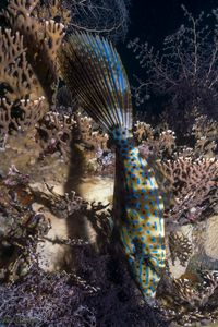 Scrawled Broomtail Filefish