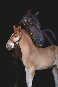 Suffolk Punch horses Camilla and Lewis