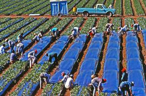 Planting strawberries north of Huron