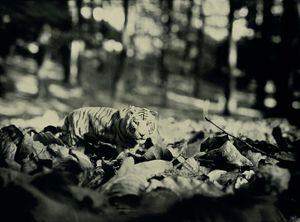 Tiger, Hallerbos Belgium
