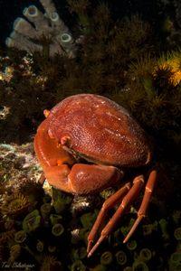 Red Convex Crab