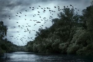 A group of Great Cormorants crosses the sky above a channel | Danube Delta Biosphere Reserve (Romania)