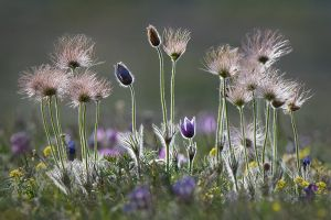 The different phases of the Pasque flowers' life on a single frame | Fertő-Hanság National Park (Hungary)