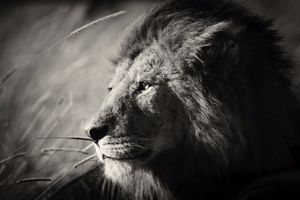 """""""Portrait of a king."""" A pride leader is resting in the grass on an early morning in Serengeti, Tanzania."""