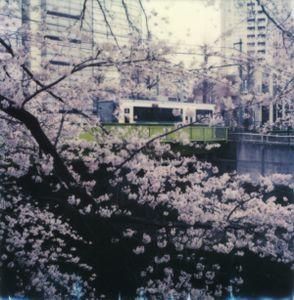 Tokyo Cherry Blossoms 6