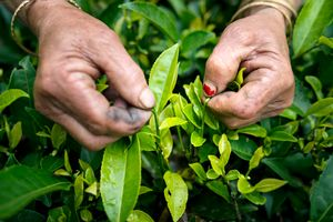 The picking of tea leaves.