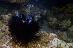 Sea urchin Spawning