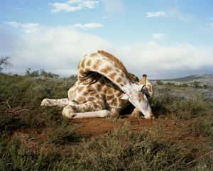 fallen giraffe, somerset east, eastern cape, south africa-from the series 'hunters'-David Chancellor