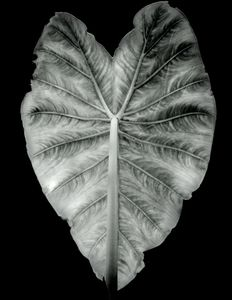 Leaf Pattern, Yaddo, 2018