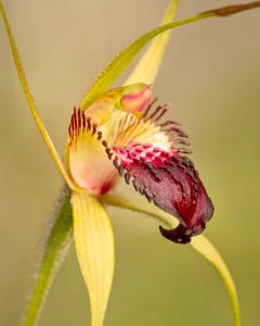 Beauty in the bush: Dunsborough spider orchid