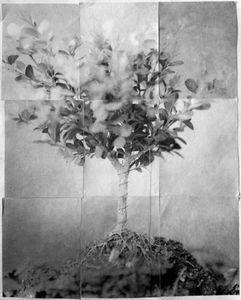 Bonsai (Rootbound)
