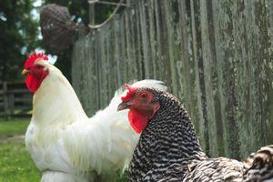 Chicken Pair