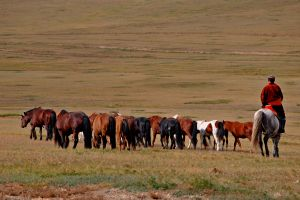 Horse breeding in the great steppe.