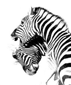 Zebra dispute