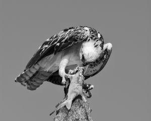 Hawk predatory