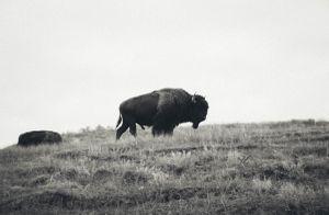 The Buffalo and the Calf