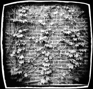 Ivy Wall 2, Cambridge