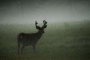 Deer Fog