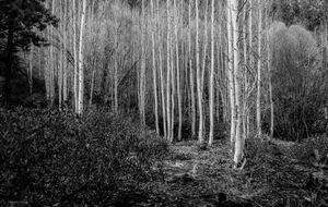 Birch Tress of Oregon