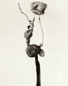 Herbarium series, Barrufeta godafreda, 1983, Selenium toned gelatin silver print, 40 x 30 cm © Joan Fontcuberta