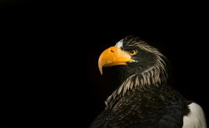 Stellas Sea Eagle