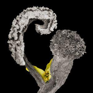 Kale Flower, Anther, Pistil, Pollen