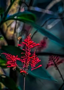 bee and red salvia