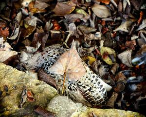 Dead Owl