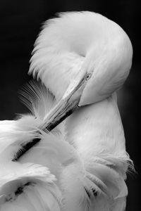 Preening Great Egret I