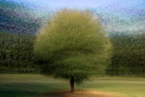Quercus (live:evergreen oak)