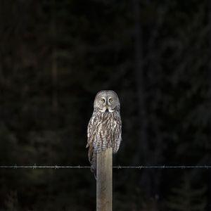 'Great Grey Owl'