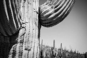 Saguaro Close Up
