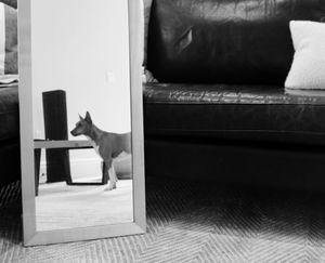 Reflecting Basenji