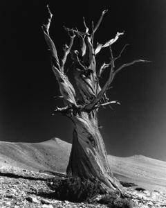 Western Bristlecone Pine, Big Pine CA. C. 2000