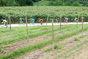 Stage: Emilia Romagna. Brisighella, Appennino Tosco-Romagnolo. Passing a kiwi plantation, typical of this area.