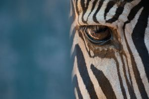 Close-up of right eye of Grevy zebra