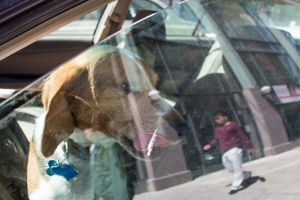 Untitled (beagle lapping at car window), 2013