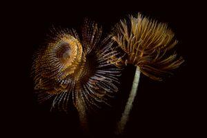 Two marine worm look like flower