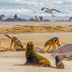 jackals eating a baby seal