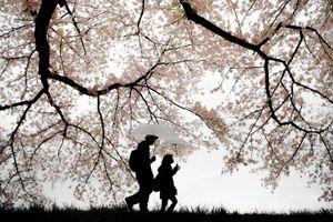 Rain of cherry blossoms