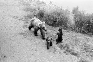 Mama bear with her cubs in Katmai National Park
