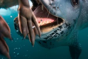 1st prize Nature Stories, © Paul Nicklen, Canada, National Geographic Magazine, Leopard seal hunting, Antarctica