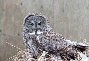 Great Grey Owl - © Adel Korkor