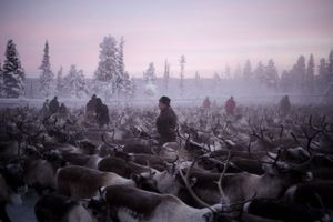 Sami families gathering in the 'coral' to catch some of their reindeer in Jukkasjärvi.