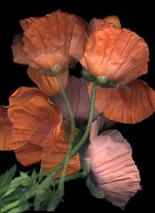 Poppies Op. 1