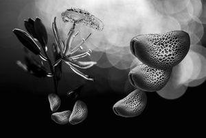 Camas Lily Pollen