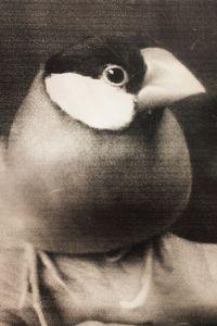 [Hiko] It is a Java sparrow you become familiar with people very   © Takashi Kuraya