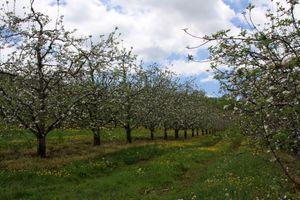 Apple Orchard - North Carolina