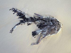 Drowned Laysan albatross fledgling, Midway Island, 2010