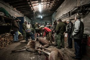Hunted deer on hold for review by the veterinary team. © Antonio Pedrosa